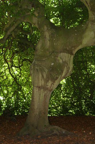 fagus tronc Segrez 035.jpg