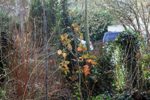v1 hydrangea quercifolia 27 déc 2012 001.jpg