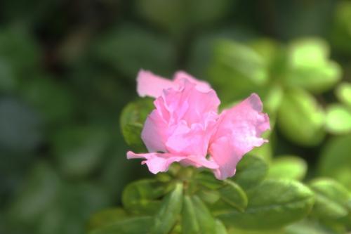 rhododendron obtusum veneux 15 oct 2017 001 (2).jpg