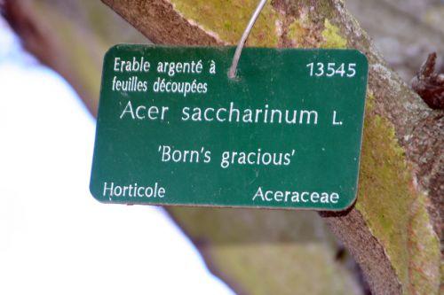 acer saccharinum étiq paris 16 jan 046.jpg
