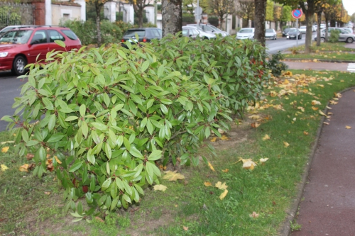 11 photinia veneux 4 nov 2015 011.jpg