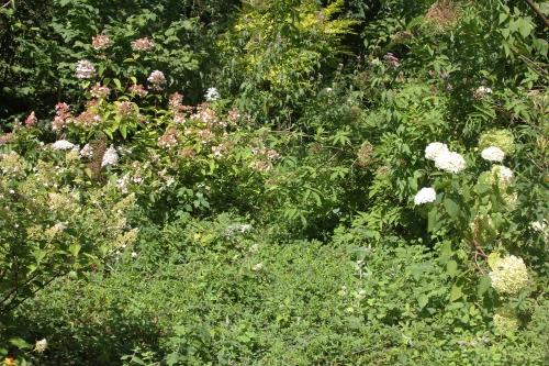 3 hydrangeas romi 2 août 2015 001.jpg
