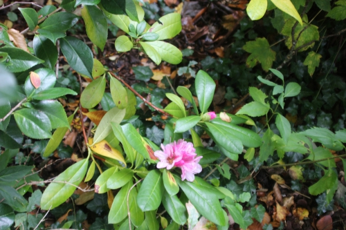 1 rhodo christmas veneux 18 oct 2015 007.jpg