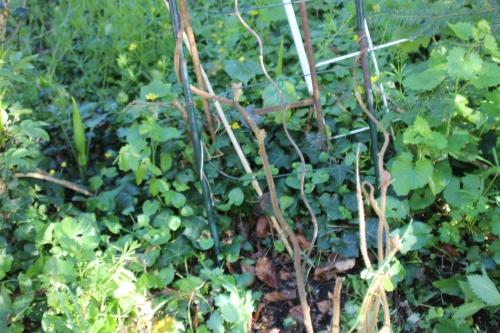 6 actinidia mâle veneux 18 avril 2016 008 (4).jpg