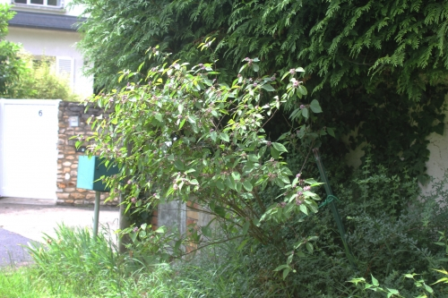 1 callicarpa bodinieri veneux 10 juin 2018 009 (1).jpg