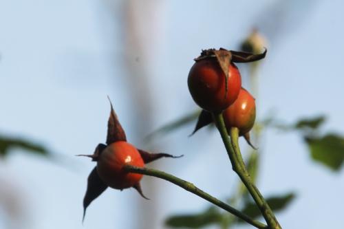 11 rosa rugosa romi 22 nov 2014 050 (2).jpg