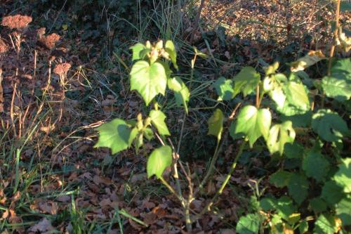 1 hibiscus mutabilis veneux 29 nov 2016 007.jpg