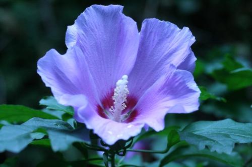 17 hibiscus syr veneux 29  juil  2010 019.jpg