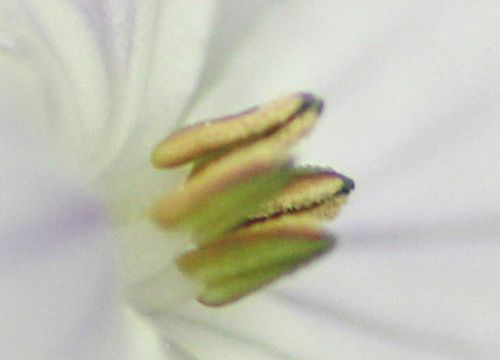 11 lunaria rediviva co veneux 13 mai 2013 p 13.jpg