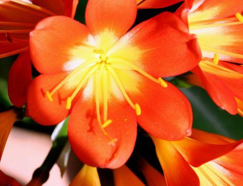 clivia 1 fleur 003.jpg