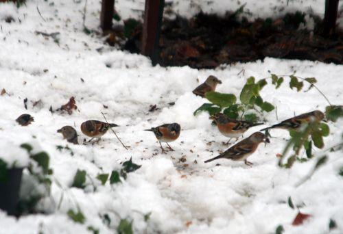 oiseaux sol 19 déc 2010 041.jpg