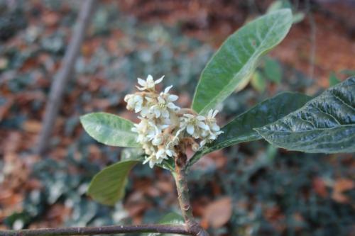 eriobotrya oliver veneux 12 nov 2015 006.jpg
