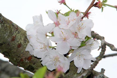 prunus yedoensis gb 9 avril 2012 029 (1).jpg