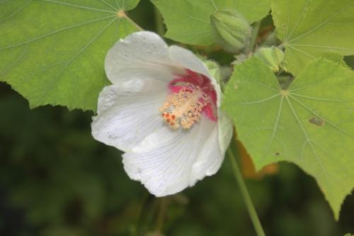 1 hibiscus para romi fl 19 juil 2015 169 (2).jpg