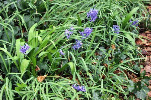 5 jacinthes veneux 15 mars 2014 006.jpg