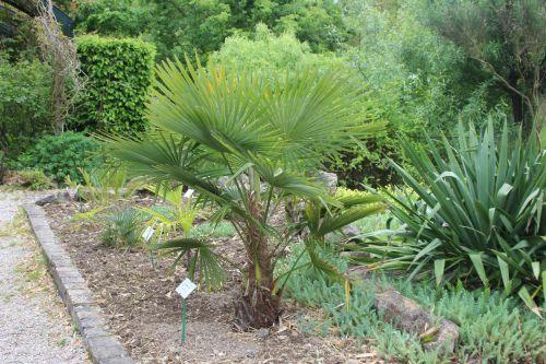 15 trachycarpus takil marnay 8 mai 2014 065 (1).jpg