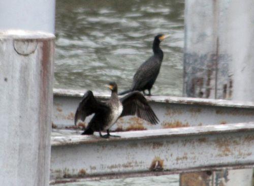 cormoran rec paris 12 janv 2013 028.jpg