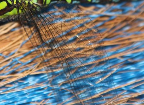 aeschne bleue ailes veneux 7 août 2015 005.jpg