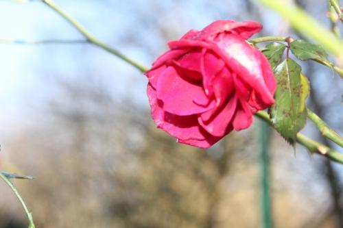 4 red parfum romi 20 déc 2014 020 (5).jpg