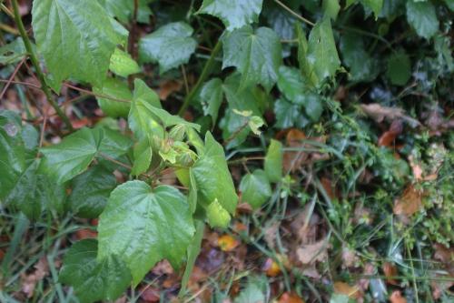 4 hibiscus mutabilis veneux 7 nov 2016 001 (3).jpg