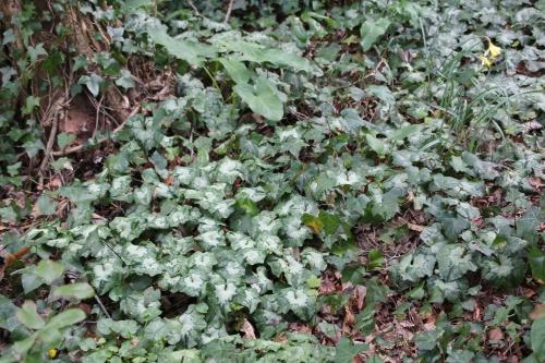 cyclamen hederifolium veneux 5 avril 2015 020.jpg