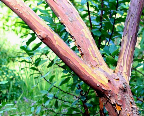 arbutus andrachnoides branches 16 septembre 093.jpg