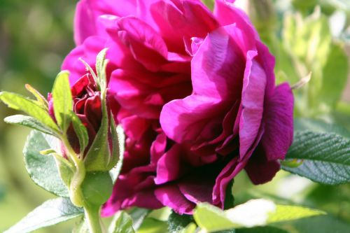 rugosa roseraie de l'hay paris 4 mai 089.jpg