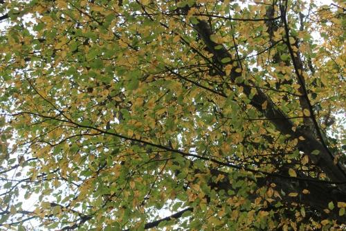 15 carpinus veneux 6 nov 2015 022.jpg