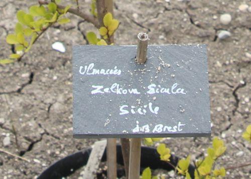 zelkova sicula étiq 30 juin 2012 166.jpg