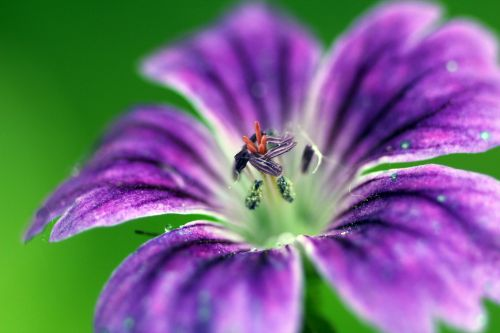 6 geranium nodosum romi 31 mai 2014 011 (1).jpg