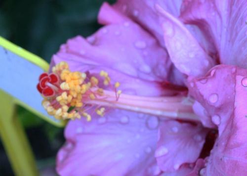 5 hibiscus exodus jardin des plantes 10 oct 019.jpg