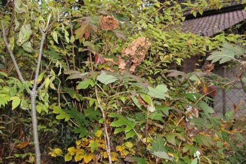 a hydrangea quercifolia veneux 26 nov 2013 007.jpg