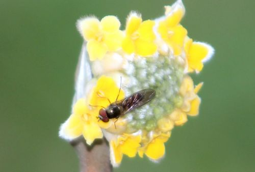 1 edgeworthia insecte paris 21 janv 2012 063.jpg