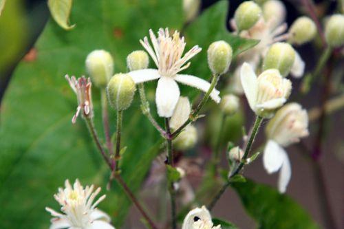 clematis fleurs 13 juil p 065.jpg