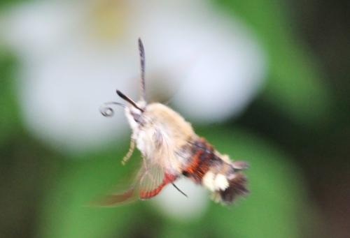 vol sphinx bourdon veneux 10 juin 2016 042.jpg