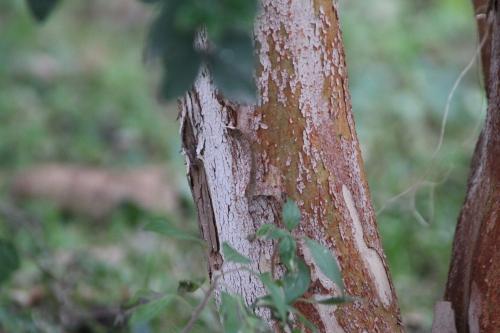7 luma apiculata paris 10 fév 2015 109.jpg