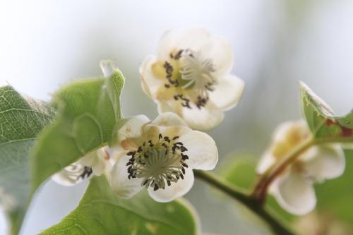 6 a actinidia mela veneux 31 mai 2017 002.jpg