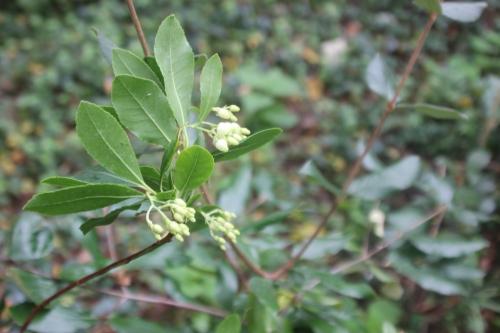 6 arbutus andrachnoides veneux 5 oct 2015 001 (4).jpg