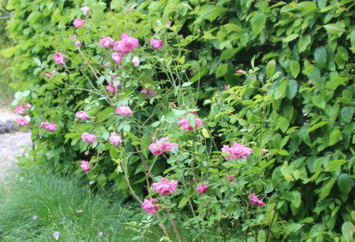 1 rosa odorata marnay 8 mai 2014 072 (1).jpg