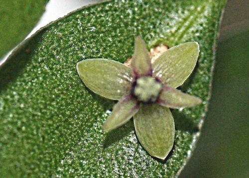 ruscus 5 6 loges 15 mars 2011 p 036.jpg