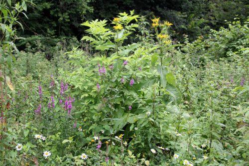 1 inula helenium romilly 16 juil 2012 260.jpg