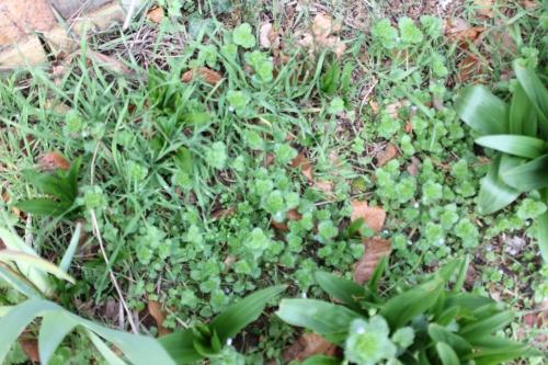 1 veronica persica veneux 24 fev 2016 011.jpg