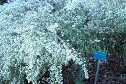 aster vimineus jardin des plantes 10 oct 032.jpg