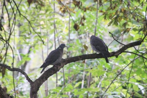 4 pigeon ramier veneux 5 nov 2016 002.jpg
