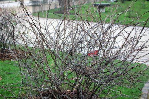 rosa omeiensis 1 paris 12 janv 2013 169.jpg