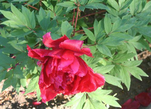 paeonia fleur paris 27 avril 019.jpg