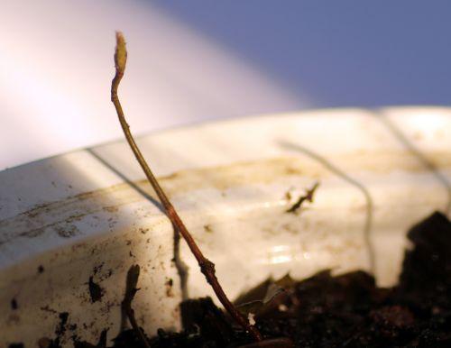 3 amelanchier alnifolia 9 mars 2013 011.jpg