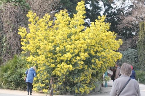 acacia decurrens paris 18 mars 2015 144 (1).jpg