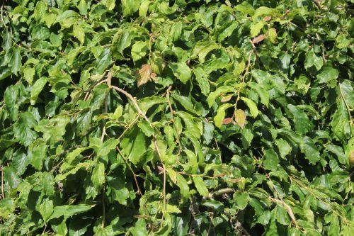 c parrotia persica pend 10 août 2013 012 (2).jpg
