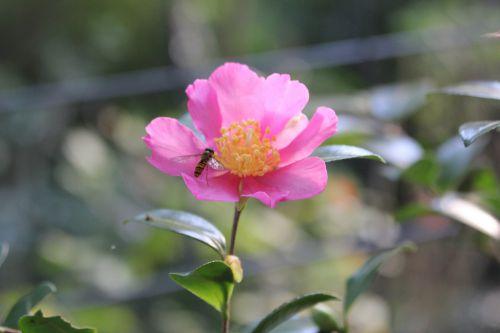 camellia sasanqua 19 octobre 2014 003.jpg